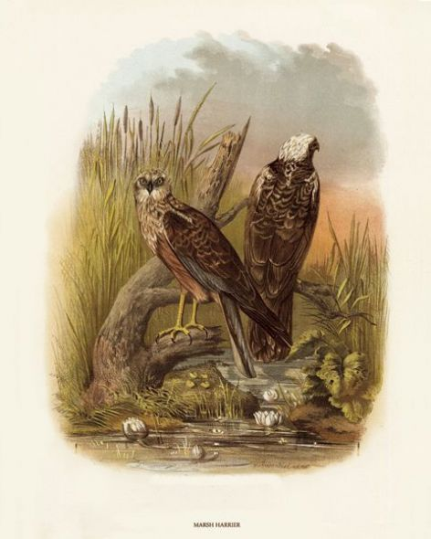 Fine Art Print of the Marsh Harrier by O V Riesenthal (1876)